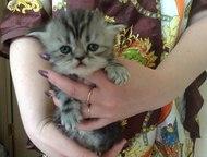 Продам котенка Продам котят персидской кошки   Очень общительные, игривые, кушаю