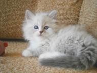 невский маскарадный котик шоу класса Предлагаем котика породы невская маскарадна