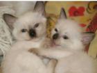 Фото в Кошки и котята Продажа кошек и котят Чистокровные сиамы, привезены из г. Москва, в Махачкале 2000