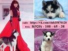 Фотография в Собаки и щенки Продажа собак, щенков Продам щенков сибирской хаски с голубыми в Медвежьегорске 0