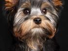 Смотреть изображение Стрижка собак ZooGroom приглашает на стрижу собак и кошек 43774776 в Миассе