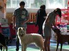Фотография в Собаки и щенки Выставки собак Родились 25. 06. 2015г.   Папа: Larry La в Москве 0