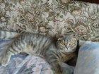 Фотография в Кошки и котята Вязка Нужен котик для кошечки породы шотландский в Минеральных Водах 0