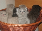 Фотография в Кошки и котята Продажа кошек и котят плюшевые шотландские котята мальчик и девочка в Минске 1000000