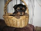 Изображение в Собаки и щенки Продажа собак, щенков красивые мальчишки йоркширского терьера приучены в Минске 3600000