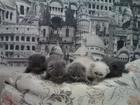Фотография в Кошки и котята Продажа кошек и котят красивые плюшевые шотландские котята мальчики в Минске 850000
