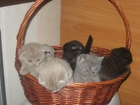 Фотография в Кошки и котята Продажа кошек и котят красивые плюшевые котята вислоухие и прямоухие в Минске 0