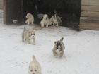 Фото в Собаки и щенки Продажа собак, щенков Продаются породные щенки САО ( белый, бело в Минске 700