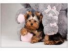 Фото в Собаки и щенки Продажа собак, щенков Наши щенки для тех, кто ценит не только экстерьер. в Минске 0