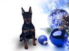 Фотография в Собаки и щенки Продажа собак, щенков Пинчер карликовый мальчик с родословной, в Минске 600