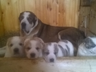 Фото в Собаки и щенки Продажа собак, щенков К резерву и дальнейшей продаже предлагаем в Минске 700