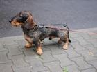 Увидеть фото Вязка собак Ищем девочку для своего любимца, Кобель таксы жесткошерстной, стандарт, 4 года, 62062585 в Минске