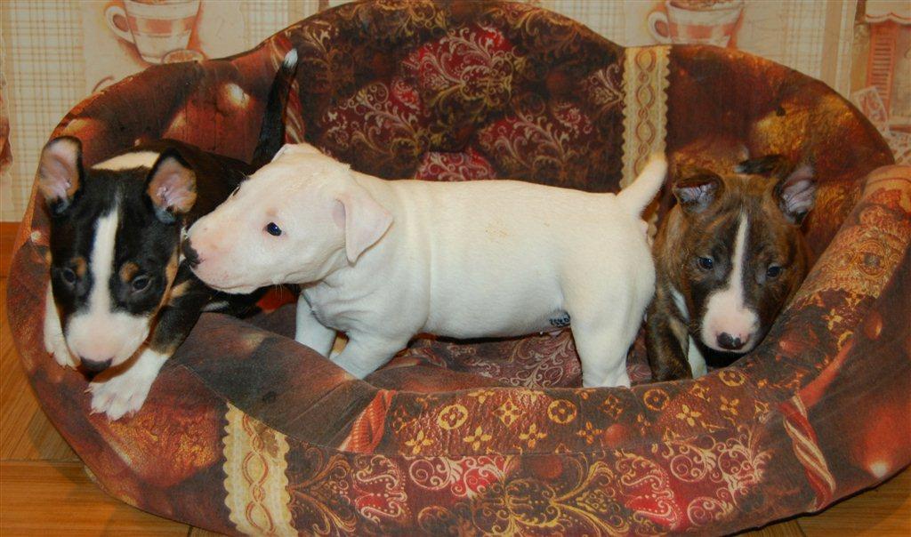 Предлагаются к продаже щенки миниатюрного бультерьера