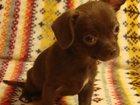 Скачать бесплатно фото  Чихуа-хуа, купить щенка, мини, шоколадные с белым и рыжая, 32302076 в Москве