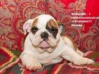 Изображение в Собаки и щенки Продажа собак, щенков Профессиональный питомник Английских Бульдогов в Москве 60000