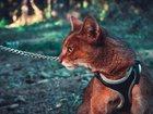 Изображение в Домашние животные Другие животные Чаузи-гибрид дикого камышового кота и домашней в Москве 35000