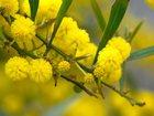 Фотография в Рыбки (Аквариумистика) Растения Продажа Мимозы, Тюльпана, Нарцисса  Опыт в Москве 200