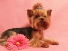 Скачать бесплатно фотографию Вязка собак 2 кобеля -йоркширские терьеры для вязки, Инструктор, 34752015 в Москве