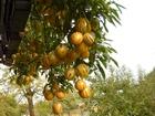Фотография в   Продаю саженцы пепино - дынная груша (цена в Москве 0