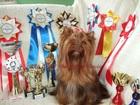 Скачать изображение Вязка собак Йоркширский терьер, шоколадного окраса, приглашает на вязку 36964714 в Москве