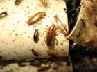 Новое изображение Разные услуги Травить (вывести) тараканов на кухне, в квартире, офисе, кафе, ресторане, магазине, 37441860 в Москве