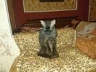 Фотография в Кошки и котята Вязка Кошечка без документов. С прививками. Опытная. в Москве 0