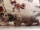 Фотография в Домашние животные Разное Предлагаются к продаже клубные щенки длинношерстной, в Москве 35000