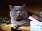 Свежее foto Услуги для животных Вязка Красивый Шотландский прямоухий кот ждет невесту:) 49732225 в Moscow
