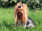 Свежее foto Вязка собак Йоркширский терьер для вязки 53295950 в Moscow