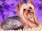 Увидеть изображение Вязка собак Мини Кобель для вязки случки питомник РКФ 55431648 в Moscow