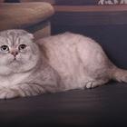 Шотландские коты для вязки ваших кошек