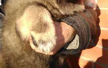 Кавказской овчарки щенков