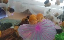 Улитки ампулярии - 6 цветов