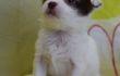 Купить щенка чихуа-хуа в Москве Вы можете