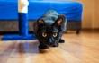 Кот красавец - чёрный, лоснящийся, гладкошерстный,