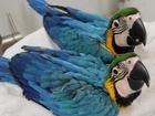Скачать бесплатно изображение Птички и клетки Сине желтый ара - ручные птенцы из питомников Европы 31966408 в Москве