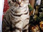 Фотография в Кошки и котята Вязка Шотландский вислоухий котик, ищет кошечку в Москве 1500