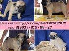 Фотография в Собаки и щенки Продажа собак, щенков Мопса чистокровных красивееееенных щеночков в Москве 0