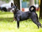 Фото в Собаки и щенки Продажа собак, щенков Знакомьтесь, это Бусинка! Солнечная и позитивная в Москве 0