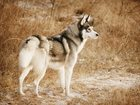 Фото в Собаки и щенки Вязка собак Предлагаем для вязки кобеля сибирского хаски, в Москве 15000