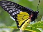 Новое foto  Продажа живых тропических бабочек 33413734 в Москве