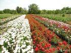 Смотреть foto  Саженцы роз 33493620 в Ставрополе