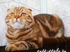 Фото в Кошки и котята Вязка Шотландский Вислоухий кот Шоколадного в Москве 10000
