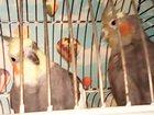 Фото в Домашние животные Птички 2 попугая. Вид кореллы. мальчик и девочка. в Лосино-Петровском 4000