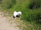 Фото в Собаки и щенки Вязка собак Немецкий шпиц, мальчик, ищет невесту для в Зеленограде 0