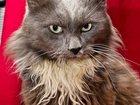 Изображение в Кошки и котята Продажа кошек и котят Этому котику не везёт, он долго уже ждет в Москве 0
