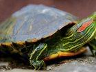 Фото в   Отдам в хорошие , руки двух красноухих черепах. в Москве 0