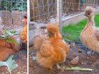 Фото в Домашние животные Птички Продам китайских шёлковых кур- Петух и курочка в Москве 1000