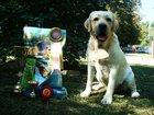 Foto в Собаки и щенки Вязка собак Импорт: Украина, интересные крови.   Развязан. в Москве 0