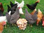 Просмотреть фотографию  Комбикорм фазовый для яичной птицы Пурина, 34084021 в Санкт-Петербурге